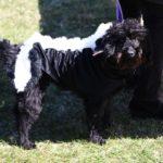 Black dog dressed up